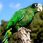 perroquet-hispaniola-01